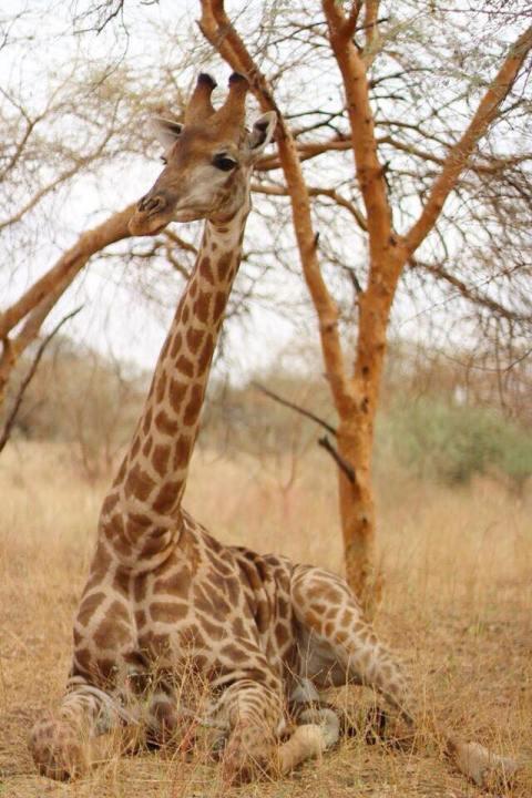 Giraffe Sugarsheet travel dakar senegal reserve bandia