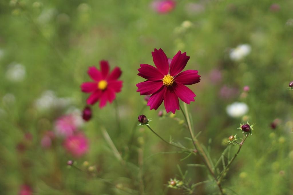 Cosmos Flower south korea